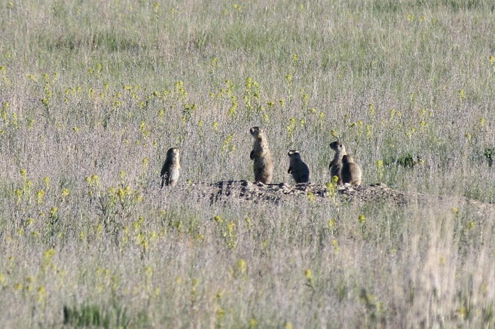 Day 5 - 3 prairie dog family